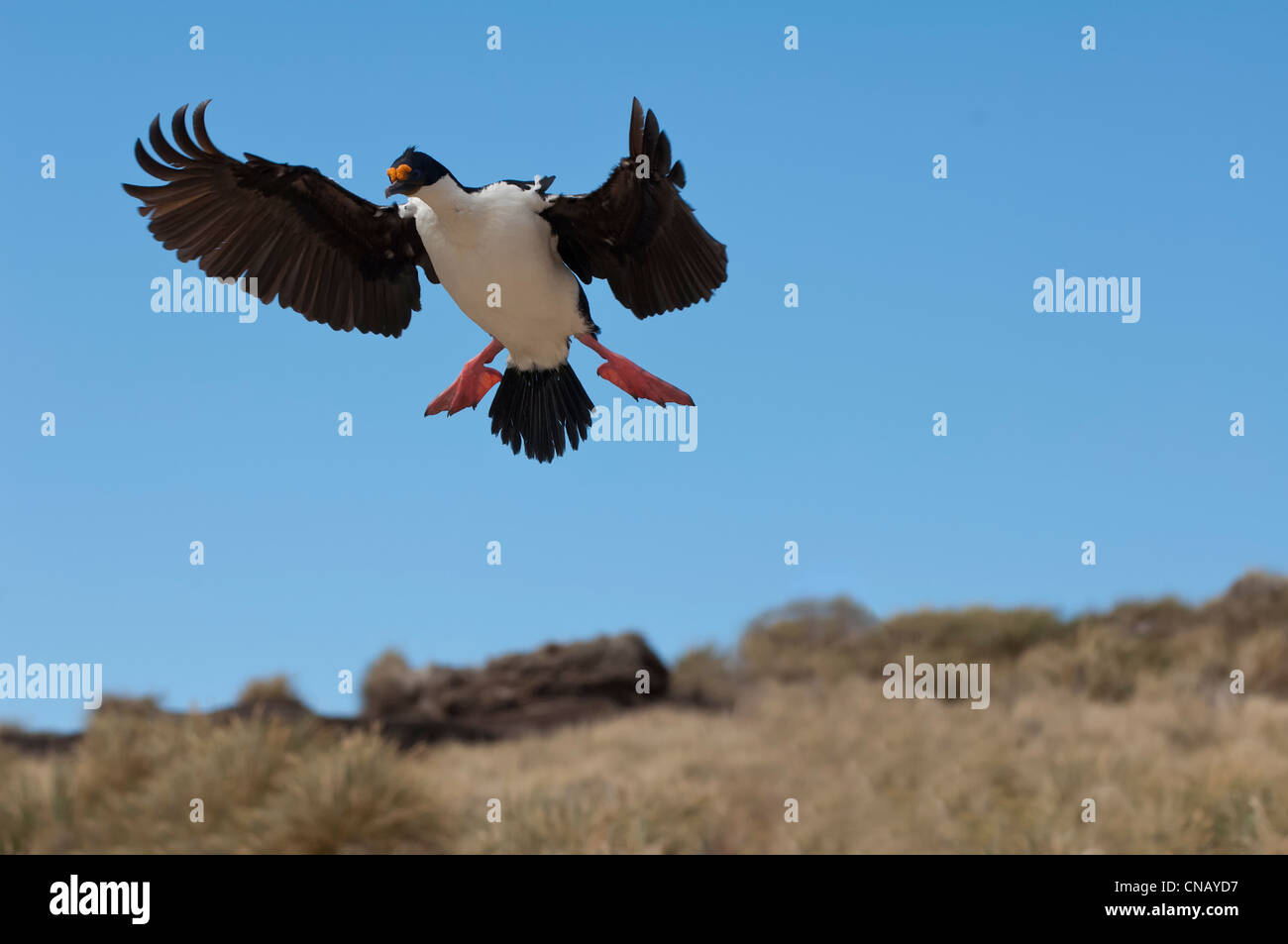 Imperial Shag, formerly Blue-eyed or King Cormorant, (Phalacrocorax atriceps) in flight, New Island, Falkland Islands - Stock Image