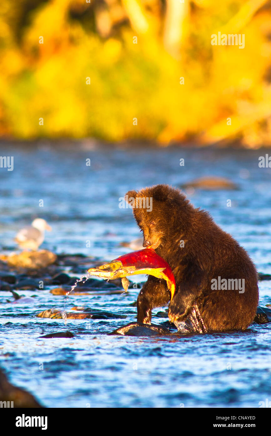 Young Brown bear cub standing on hind legs catches its first salmon in Russian River, Kenai Peninsula, Alaska, Autumn - Stock Image