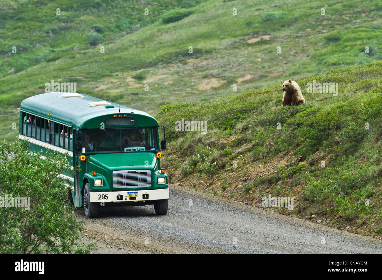 Grizzly bear on a hill watches a green shuttle bus near Stony Hill, Denali National Park , Alaska - Stock Image