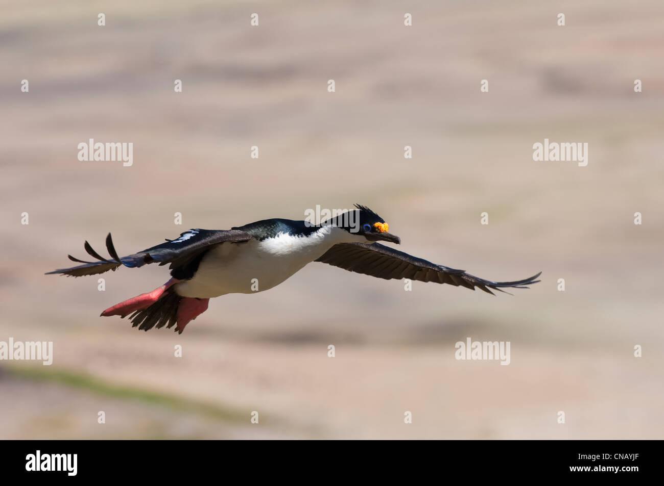 Imperial Shag, formerly Blue-eyed or King Cormorant, (Phalacrocorax atriceps) in flight, Saunders Island, Falkland - Stock Image