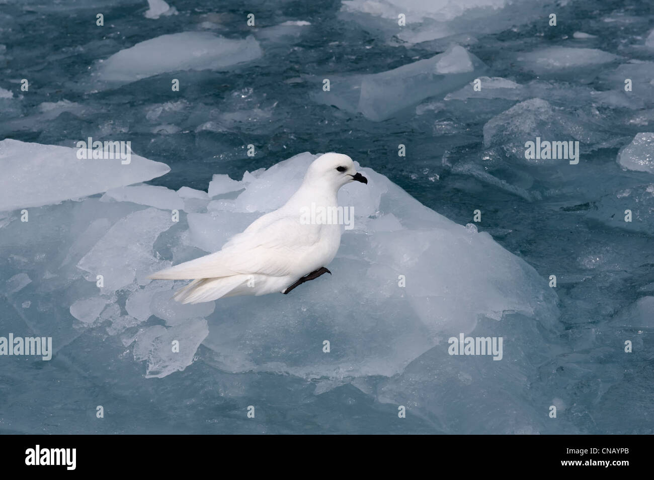 Snow petrel (Pagodroma nivea) on the pack ice, Molkte Bay, South Georgia - Stock Image
