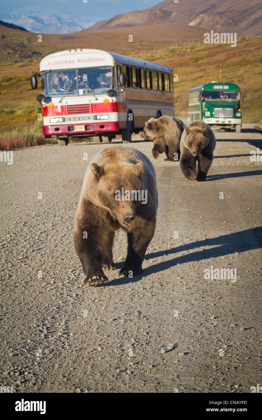 A sow grizzly with cubs walk along the park road with shuttle buses stopped in the background, Denali National Park, - Stock Image