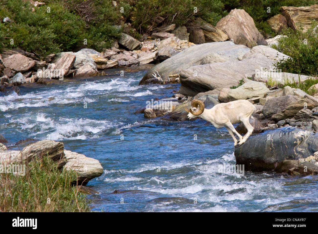 Sequence of a full curl Dall Sheep ram jumping across Savage River, Denali National Park, Interior Alaska, Summer - Stock Image