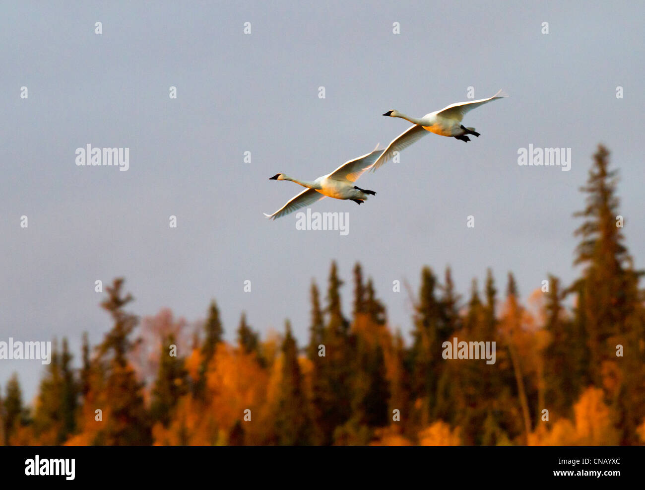 Pair of Trumpeter swans fly thru the sky above Potter Marsh near Anchorage during Autumn migration, Southcentral - Stock Image
