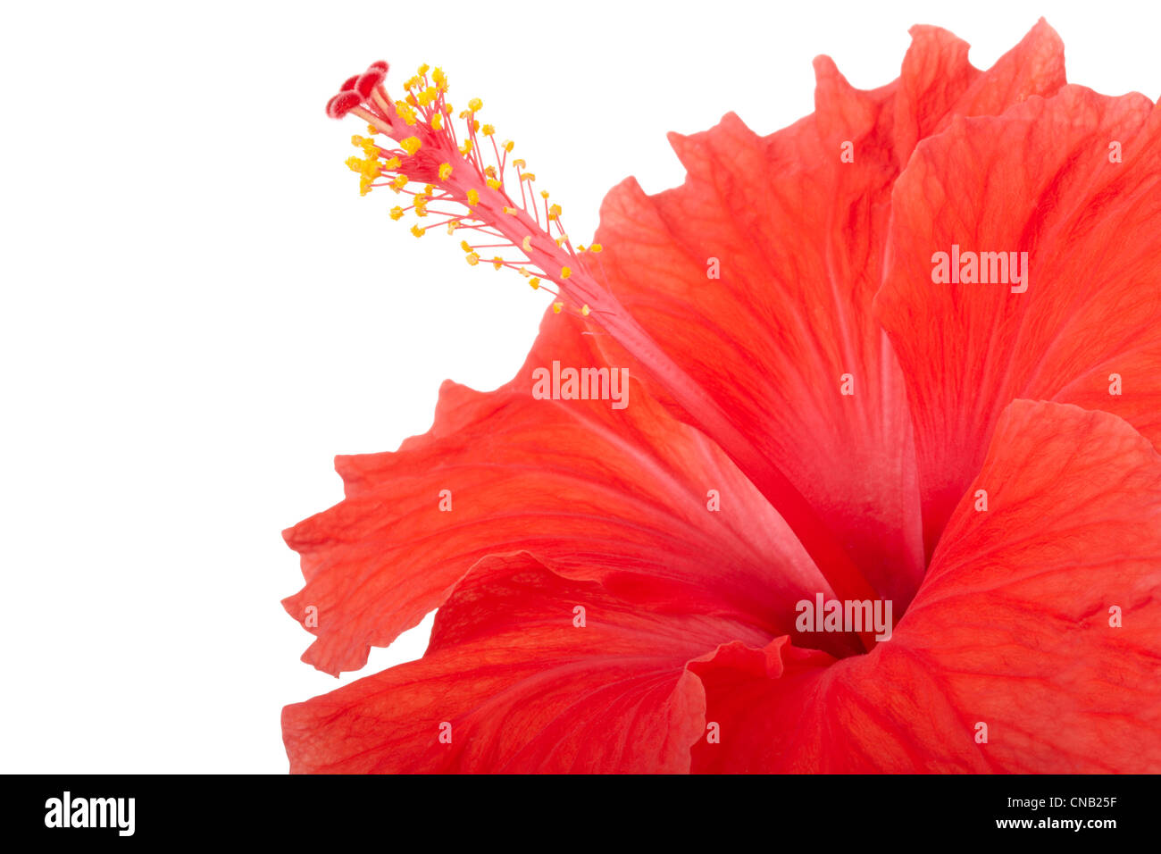 Wallpaper Of Hibiscus Stock Photos Wallpaper Of Hibiscus Stock