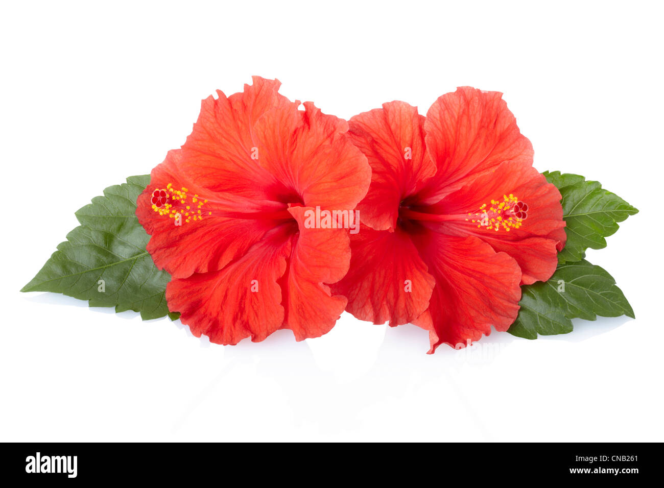 Red Hibiscus Flower With Leaves Stock Photo 47571721 Alamy