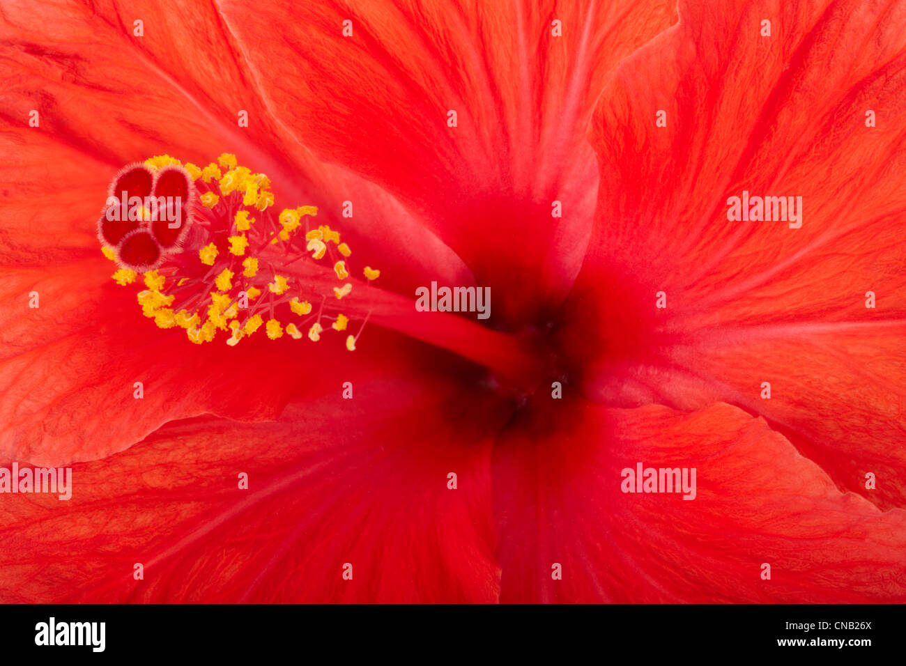 Red hibiscus flower texture background - Stock Image