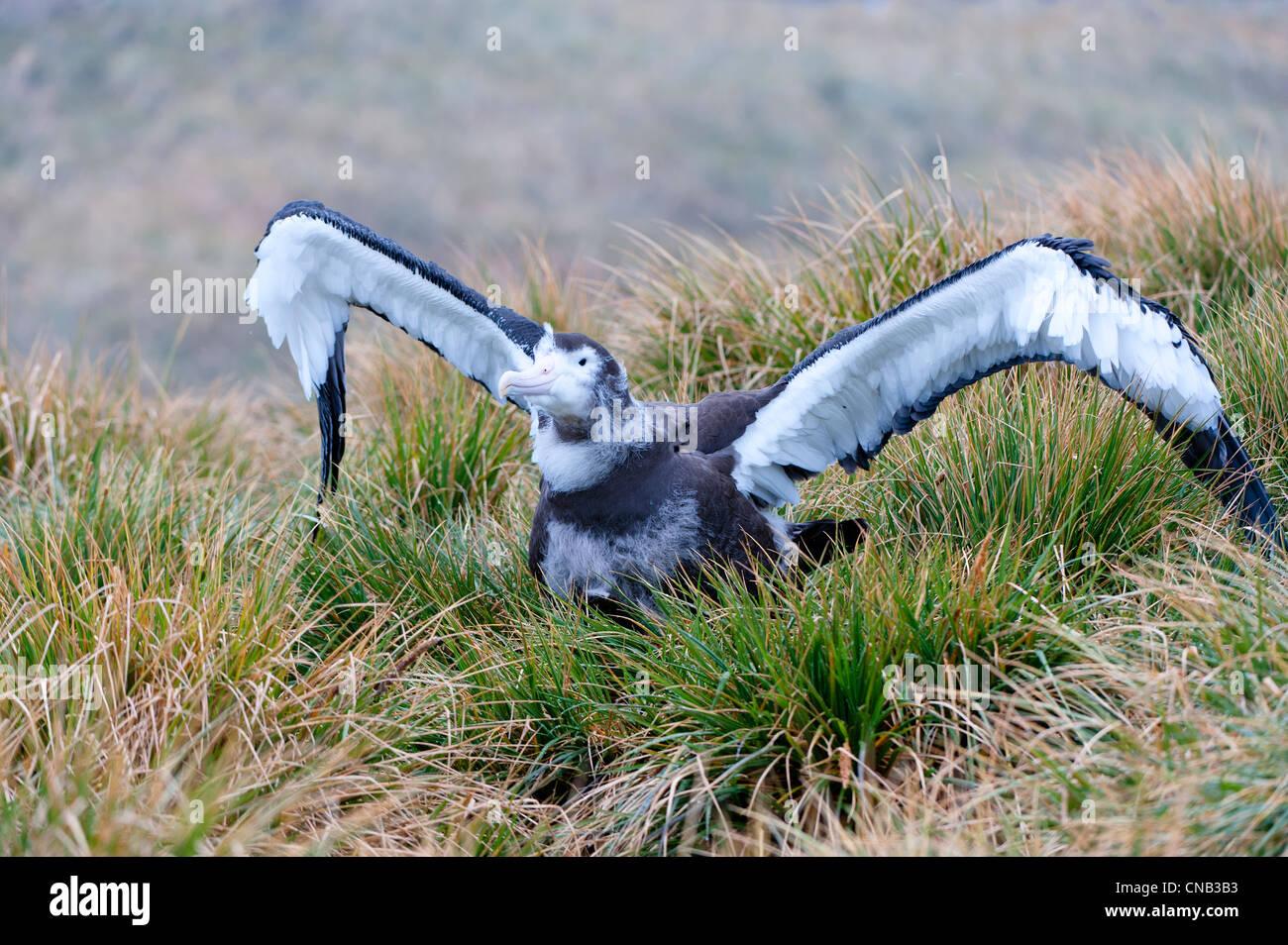 Juvenile Wandering Albatross (Diomedea exulans), Prion Island, South Georgia - Stock Image