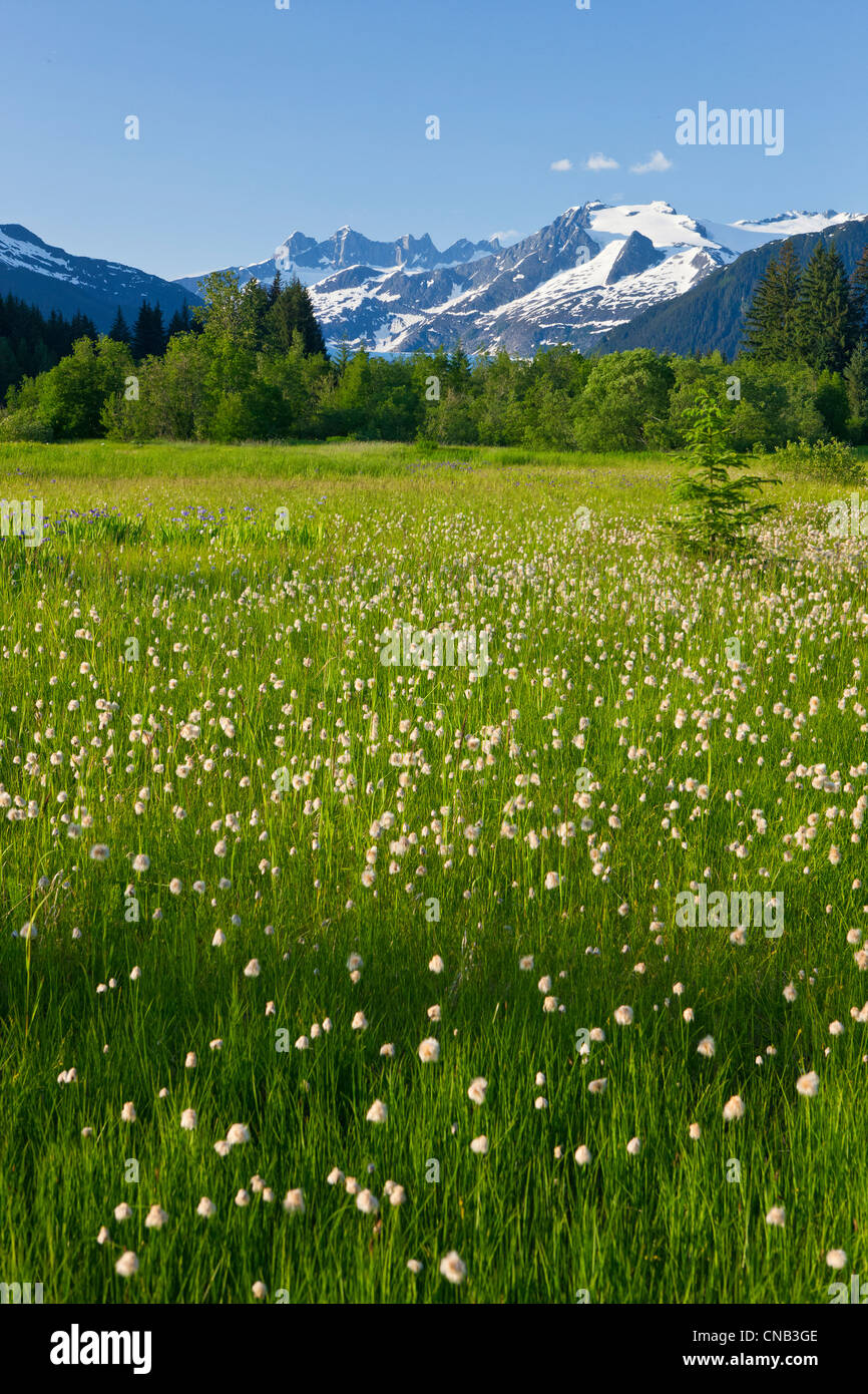 Scenic view of Cotton Grass in Brotherhood Meadow in the Mendenhall Valley, Juneau, Alaska - Stock Image