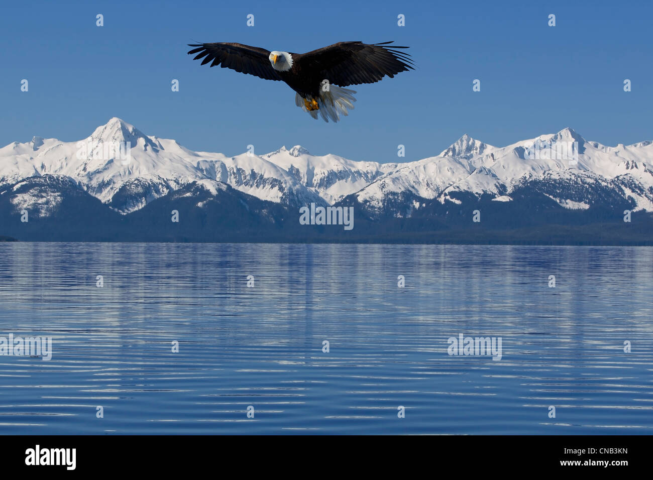 COMPOSITE: Bald Eagle soars Lynn Canal with Chilkat Mountains in the background, Tongass National Forest, Inside - Stock Image