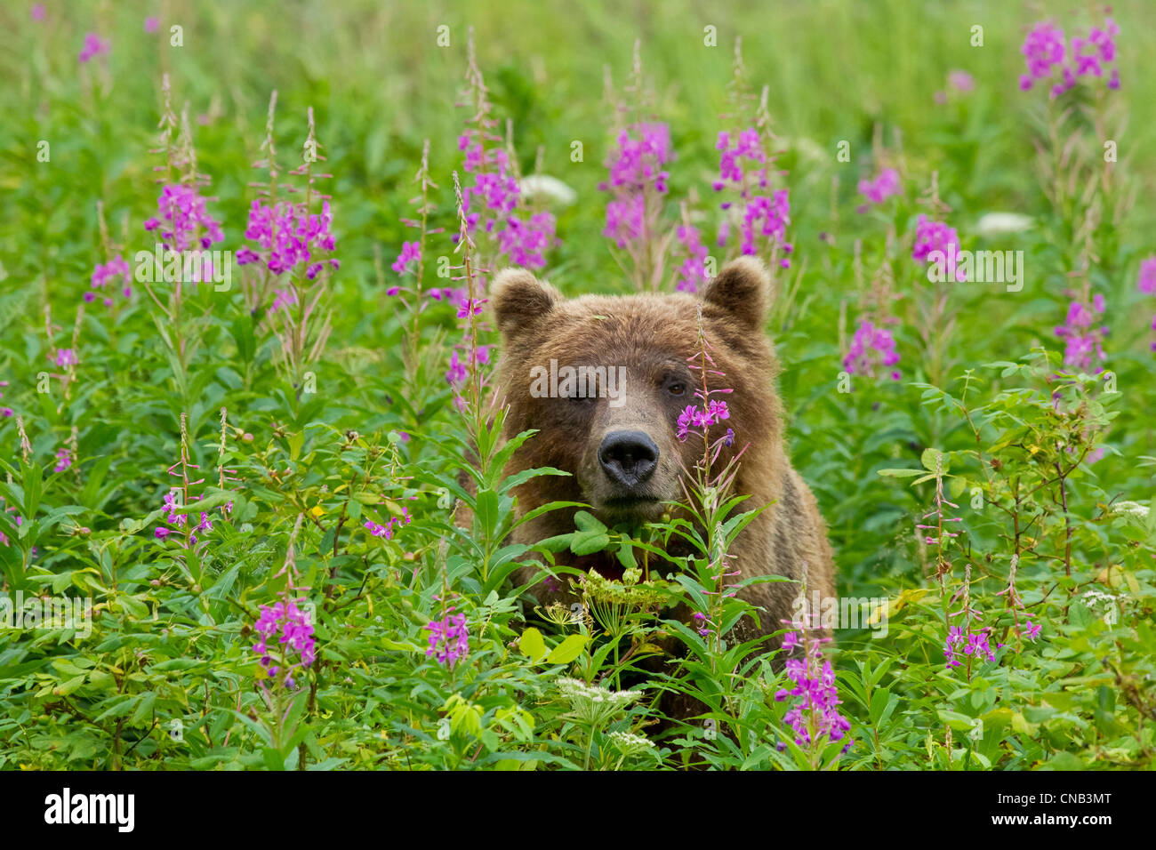 A brown bear stands amongst blooming Fireweed, Tongass National Forest, Southeast Alaska, Summer - Stock Image