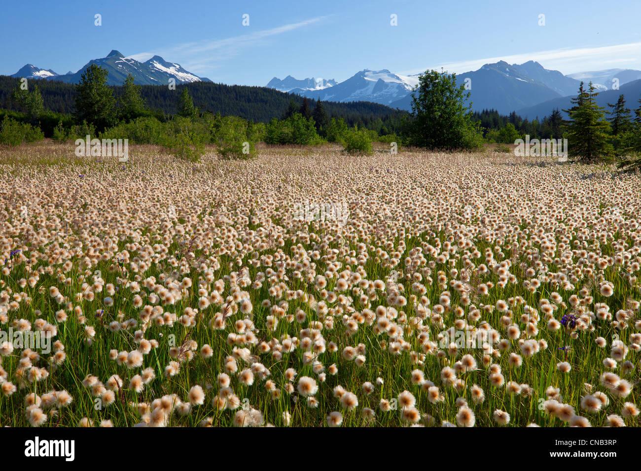 Alaska Cotton grass in the Mendenhall wetlands, Juneau, Southeast Alaska, Summer - Stock Image