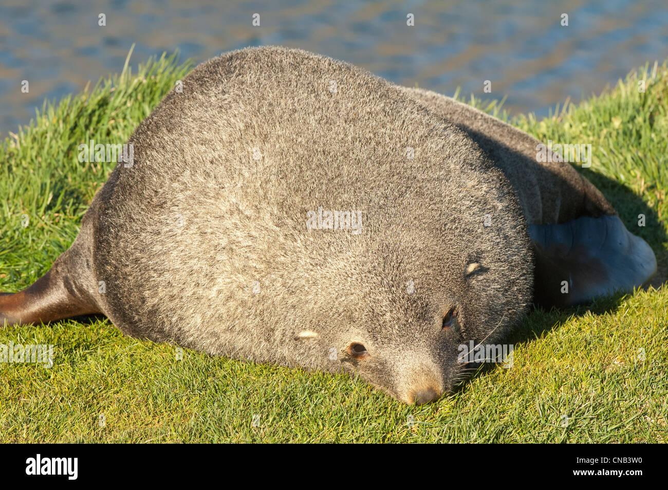 Antarctic Fur Seal (Arctocephalus gazella) Salisbury Plains, South Georgia - Stock Image