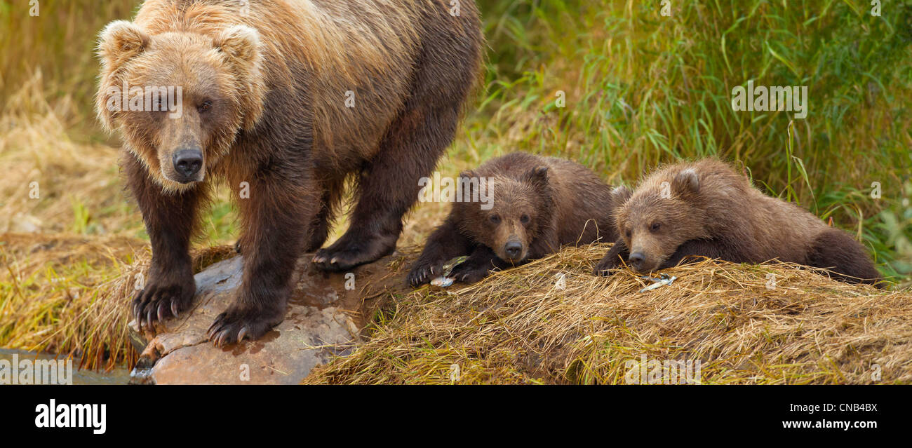 A brown bear mother scans the water for salmon while her cubs rest on the bank of Grizzly Creek, Katmai National - Stock Image