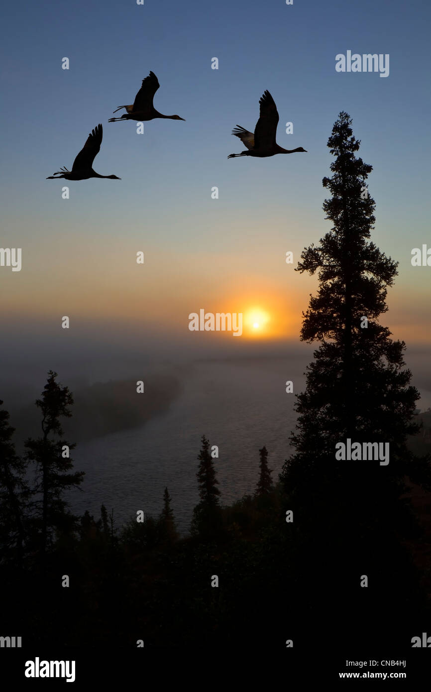 COMPOSITE: Sandhill Cranes take flight at sunrise from their roosting area near Kulik Lake, Katmai National Park, Stock Photo