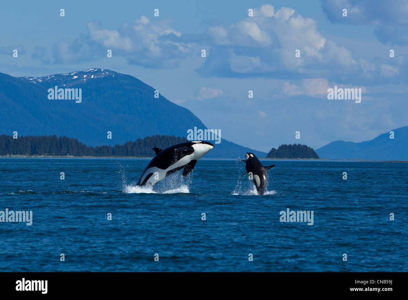 Mother and calf Orca whales breaching in Lynn Canal near ...