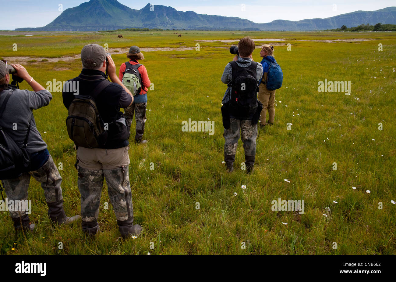 Visitors take photos of brown bear grazing on sedges and grasses in Hallo Bay meadow, Katmai National Park & - Stock Image