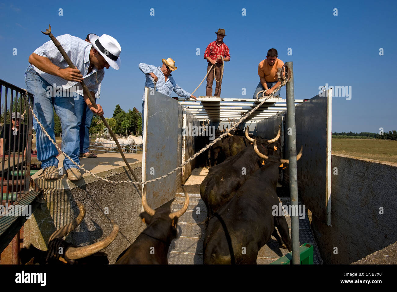 France, Gard, Camargue, Generac, the Camargue bull, called Biou de Camargue, is a wild and dangerous animal which - Stock Image