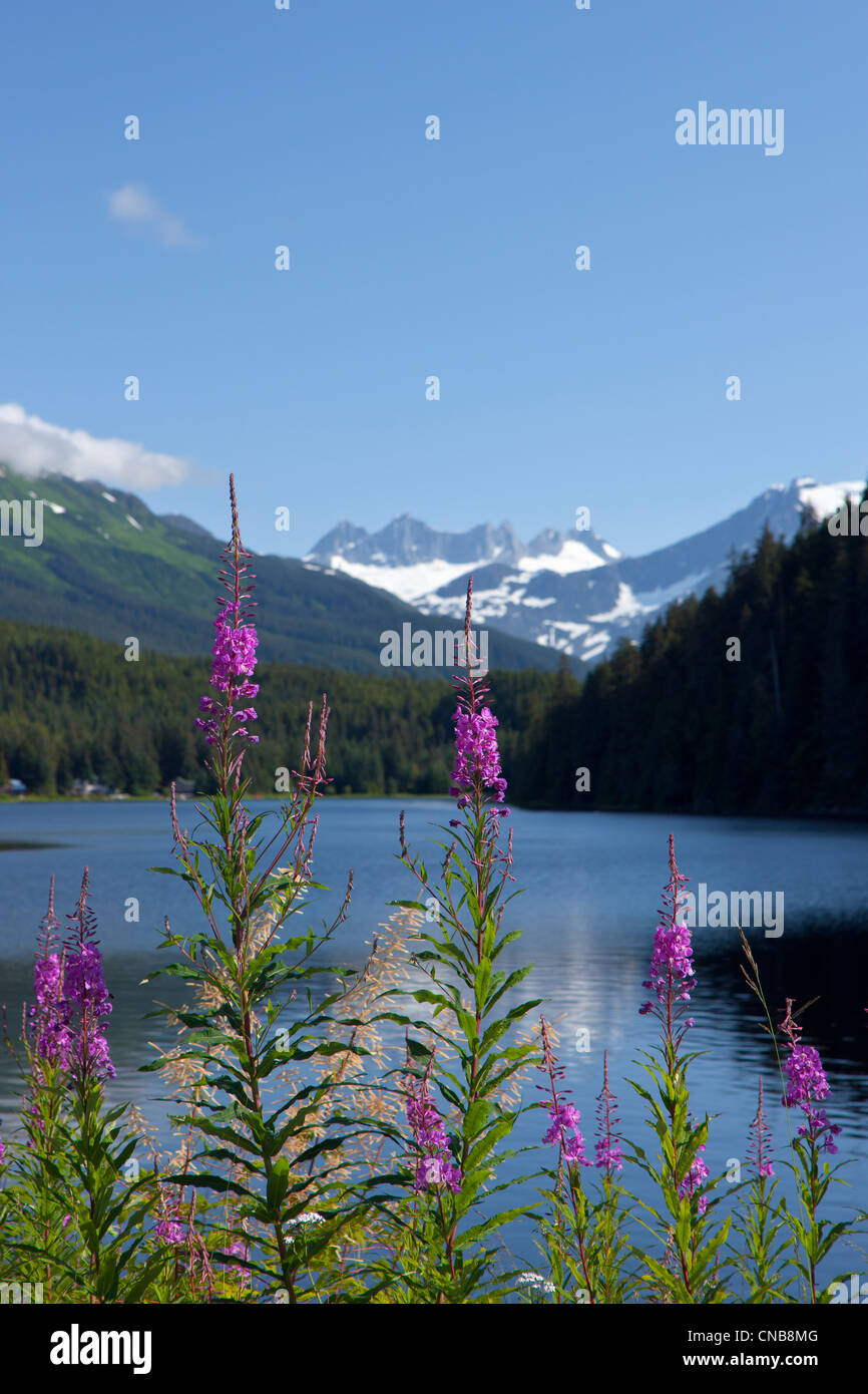 Scenic view of Auke Lake and Fireweed with Mendenhall Glacier and Coast Range Mountains, Southeast Alaska, Summer - Stock Image