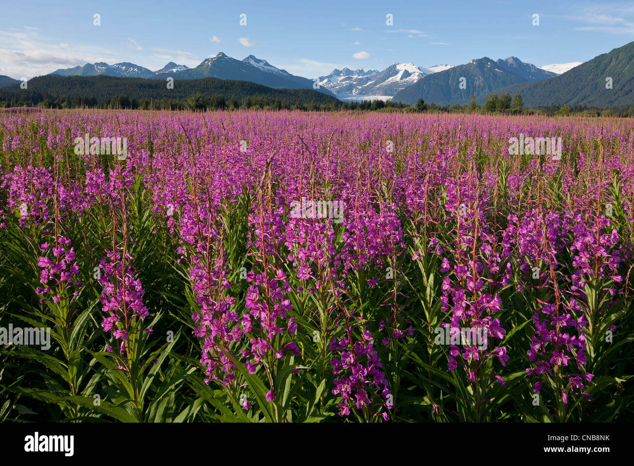 Scenic view of a field of Fireweed with Mendenhall Glacier and Towers in the background, Southeast Alaska, Summer - Stock Image