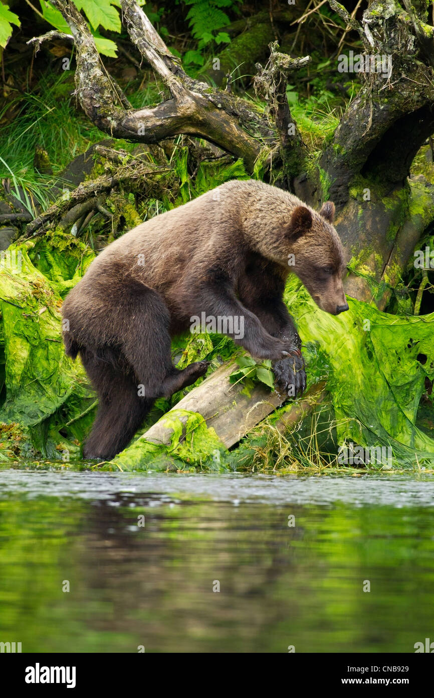 Young Brown Bear fishing along the shore, Tongass National Forest, Southeast Alaska, Summer - Stock Image