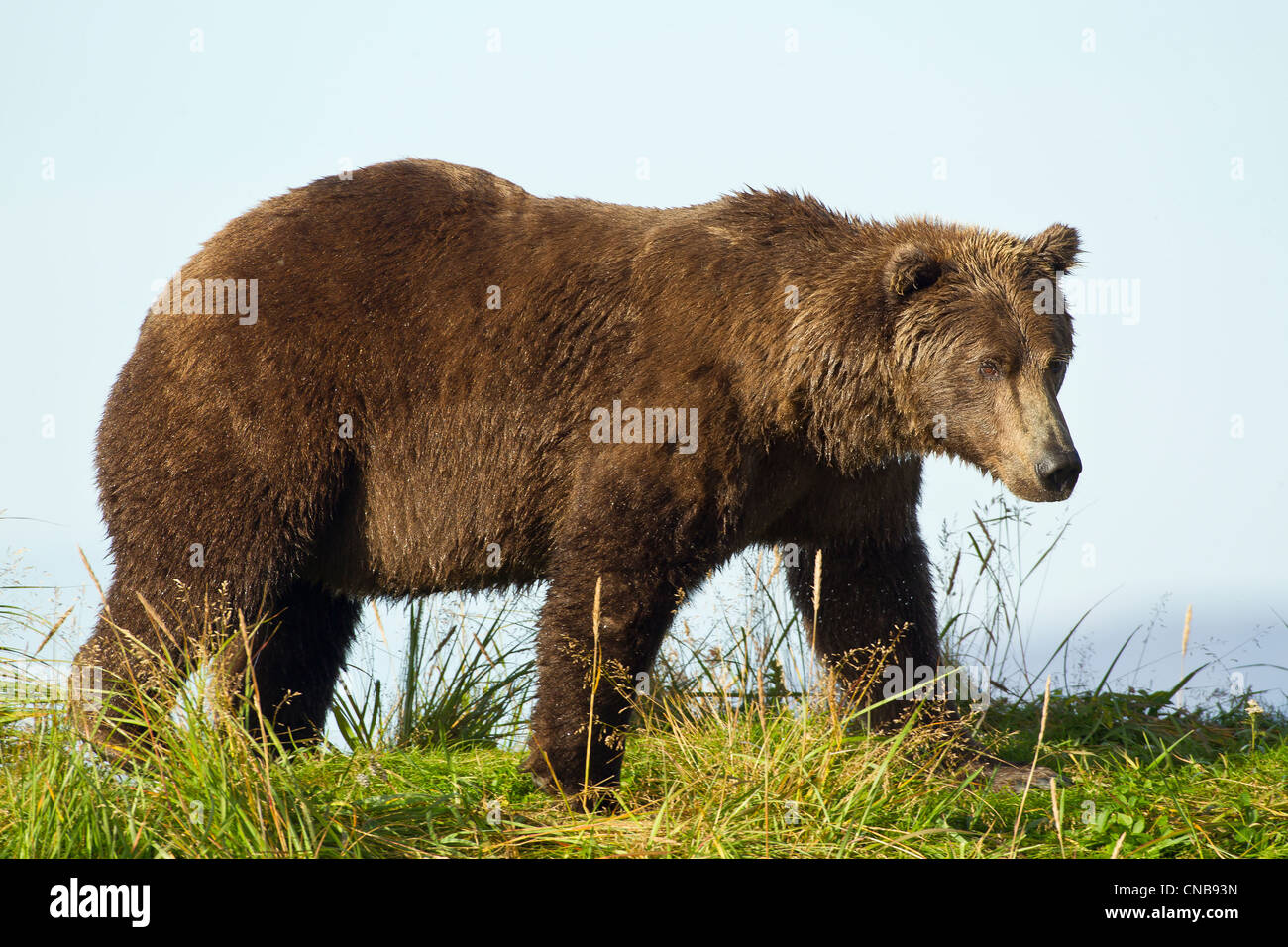 A Brown bear forages along the shoreline in Katmai National Park and Preserve, Southwest Alaska, Summer Stock Photo