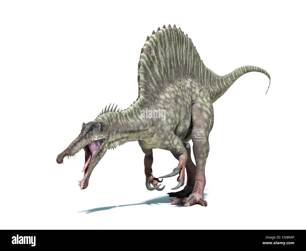 Spinosaurus dinosaur. Very detailed and scientifically correct. Isolated on white background with drop shadow and - Stock Image