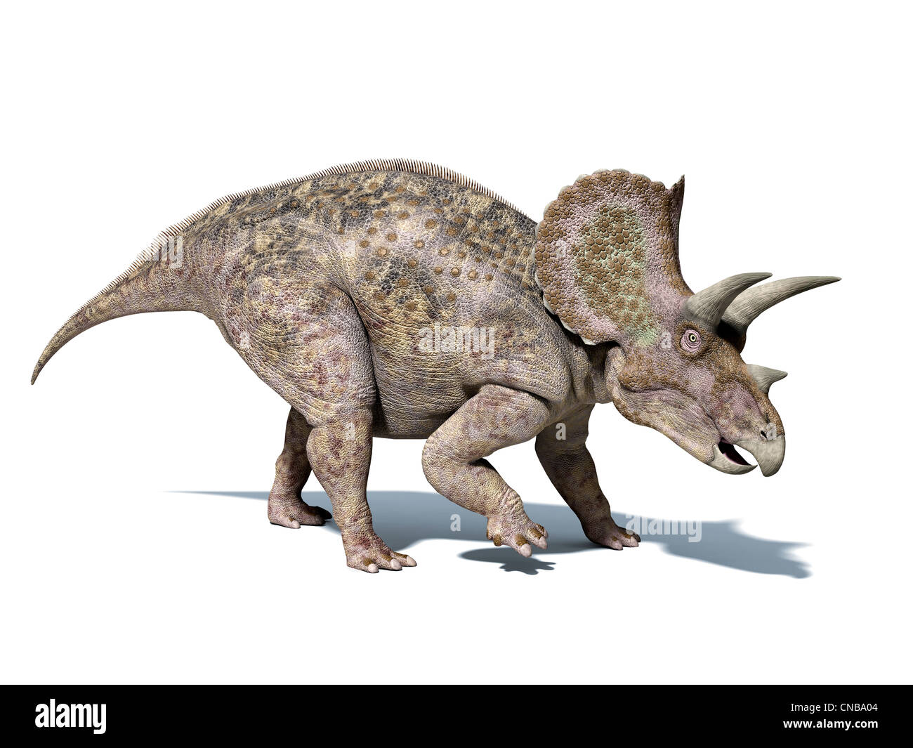 Triceratops dinosaur, very well detailed and scientifically correct. isolated on white background, with clipping - Stock Image