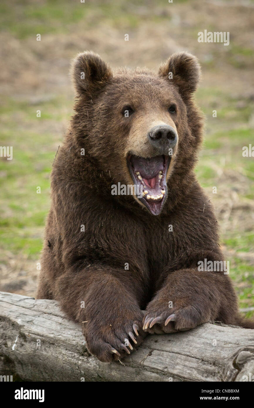 CAPTIVE: Male Kodiak Brown Bear cub resting on a log with mouth wide open, Alaska Wildlife Conservation Center - Stock Image