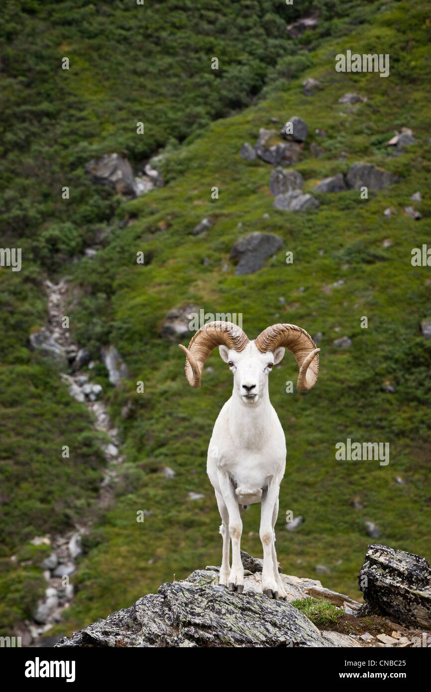 A full-curl Dall ram stands on a rock outcrop facing forward, Denali National Park and Preserve, Interior Alaska, - Stock Image