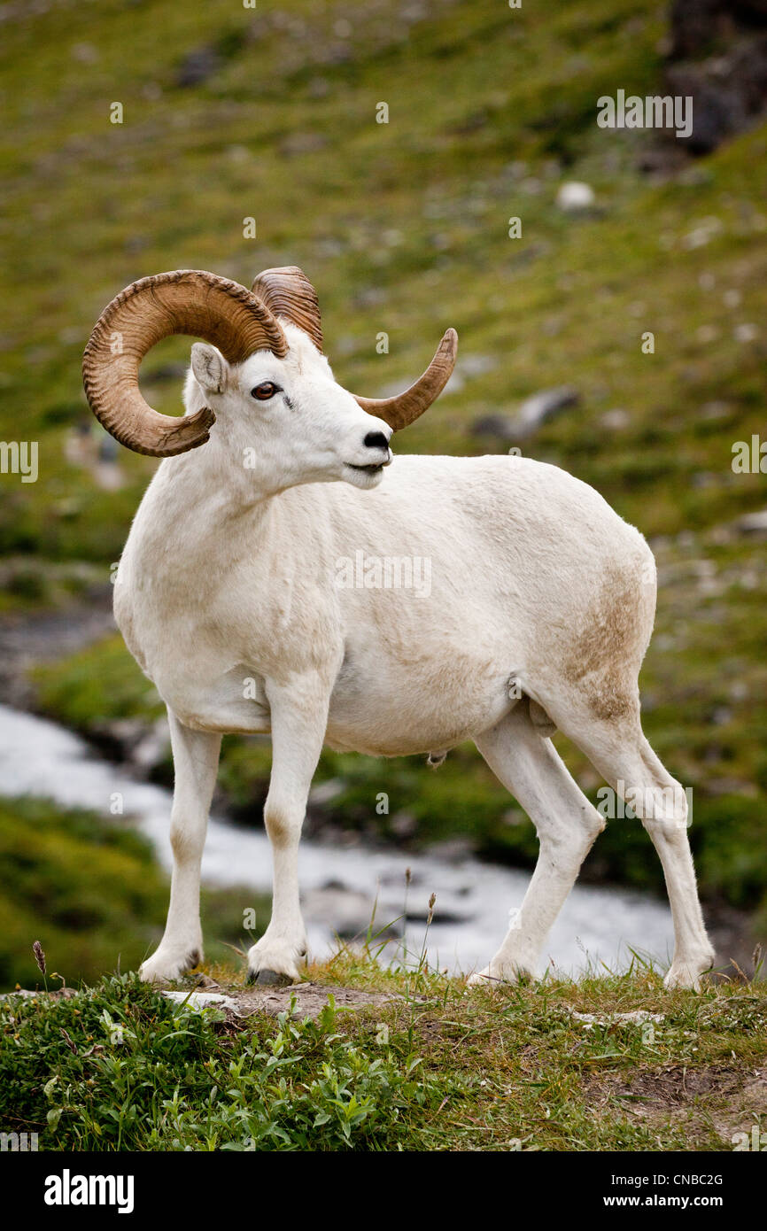 A mature Dall ram walks along the hiking trail of the Savage River in Denali National Park and Preservek, Interior - Stock Image
