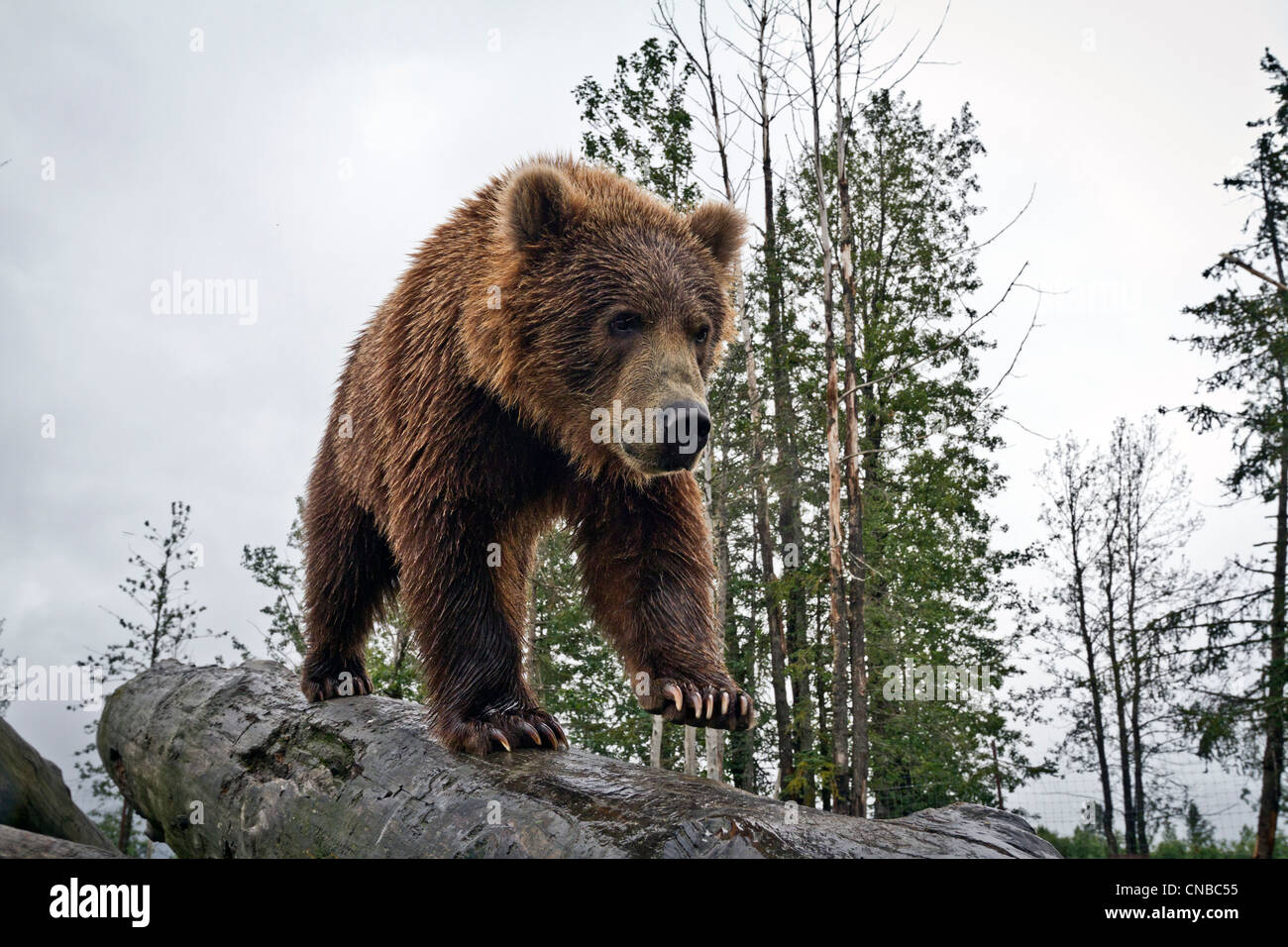 CAPTIVE: Male Kodiak Brown bear walks down a log, Alaska Wildlife Conservation Center, Southcentral Alaska, Summer - Stock Image