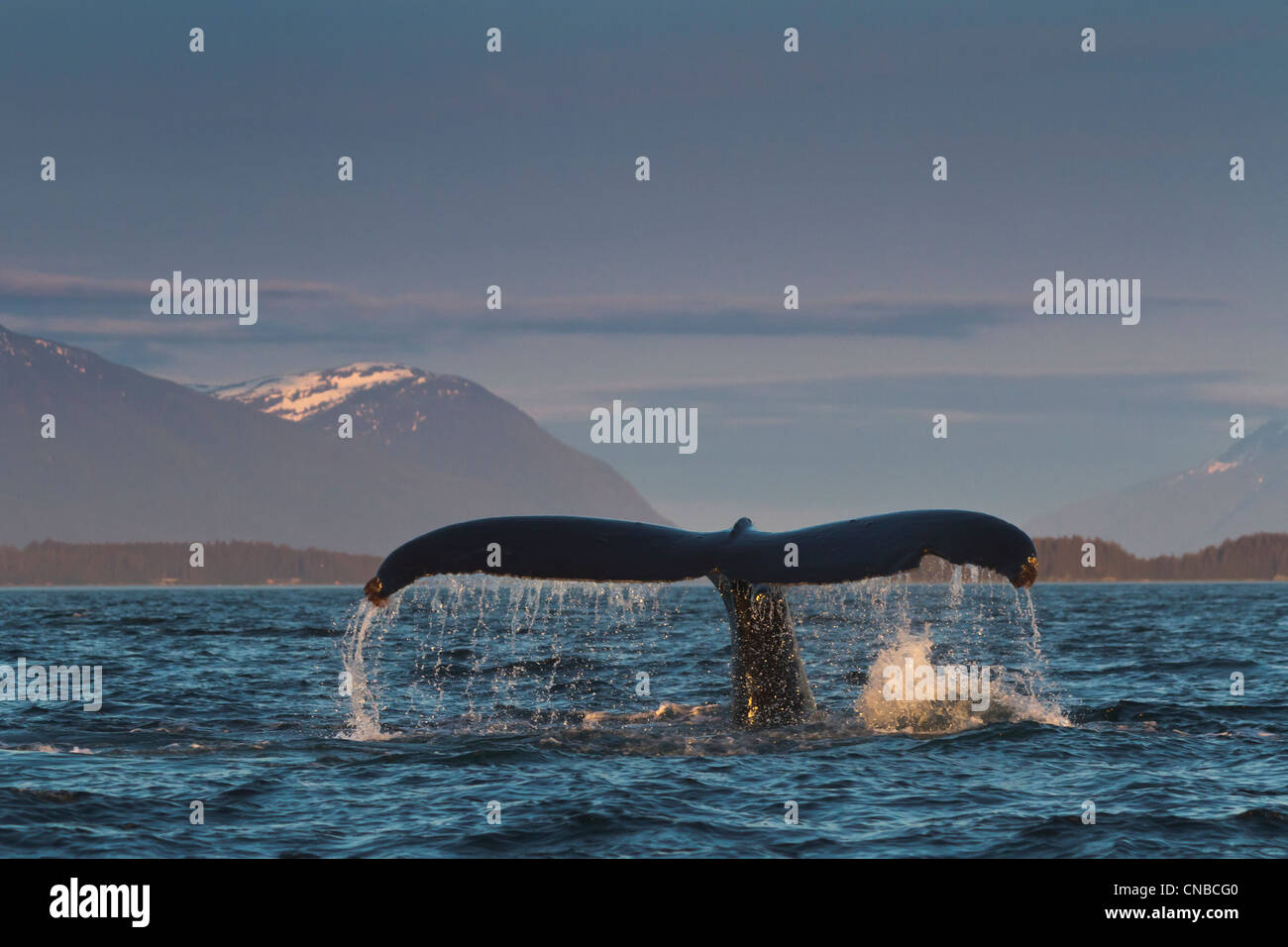 Close up of a Humpback Whale tale dripping water as the whale dives in Lynn Canal, Southeast Alaska, Summer - Stock Image