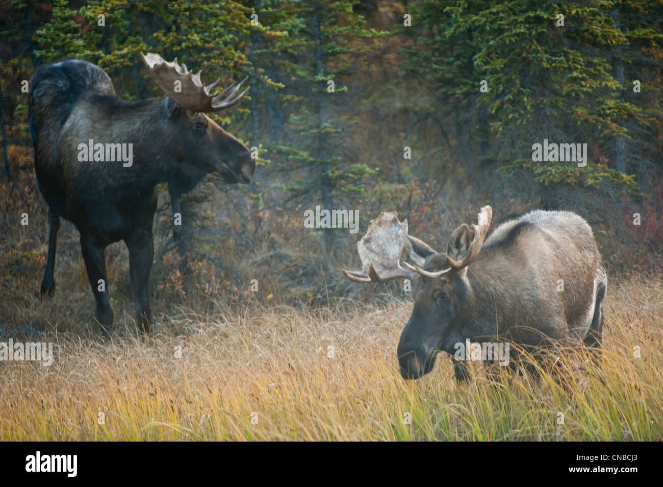 A pair of bull moose wander through a taiga forest in early morning in Denali National Park & Preserve, Interior - Stock Image