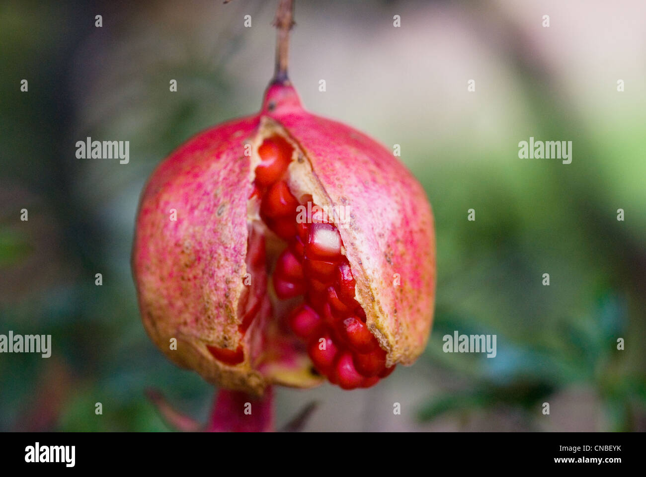 Pomegranate fruit on tree split open showing the ripe seeds in macro photography. - Stock Image