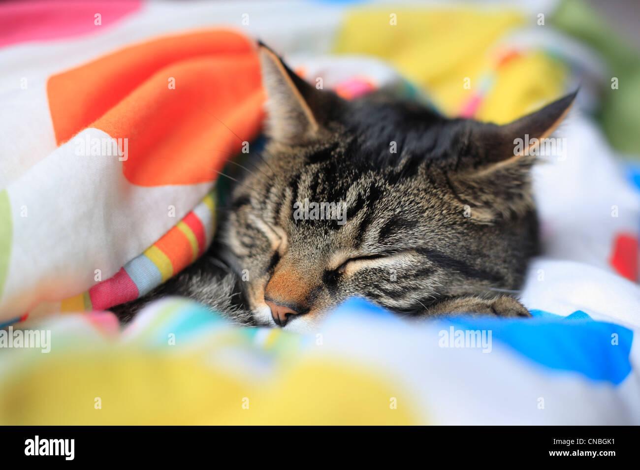 Male tabby cat asleep under a child's duvet. - Stock Image
