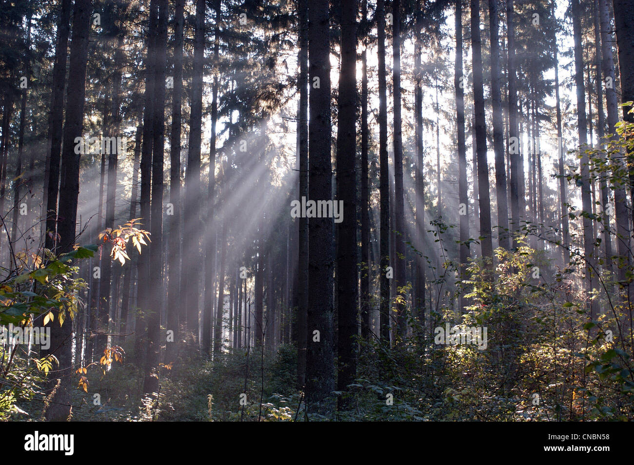 Rays of sunlight shining between trees in a forest - Stock Image