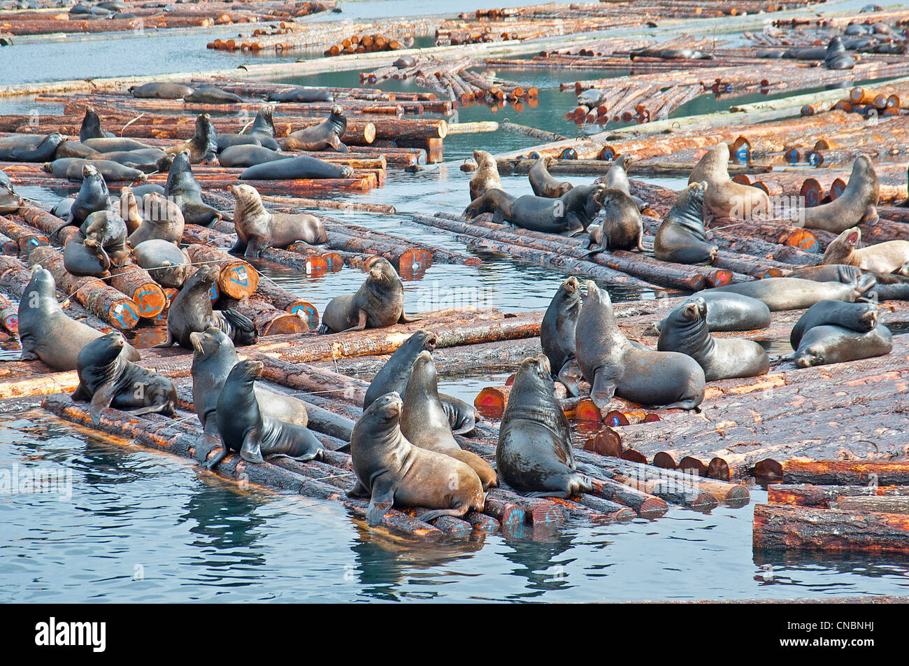 Steller and Califonia Sea Lions at Craig Bay logging yard, Nanoose Bay Vancouver Island BC.  SCO 8101 Stock Photo