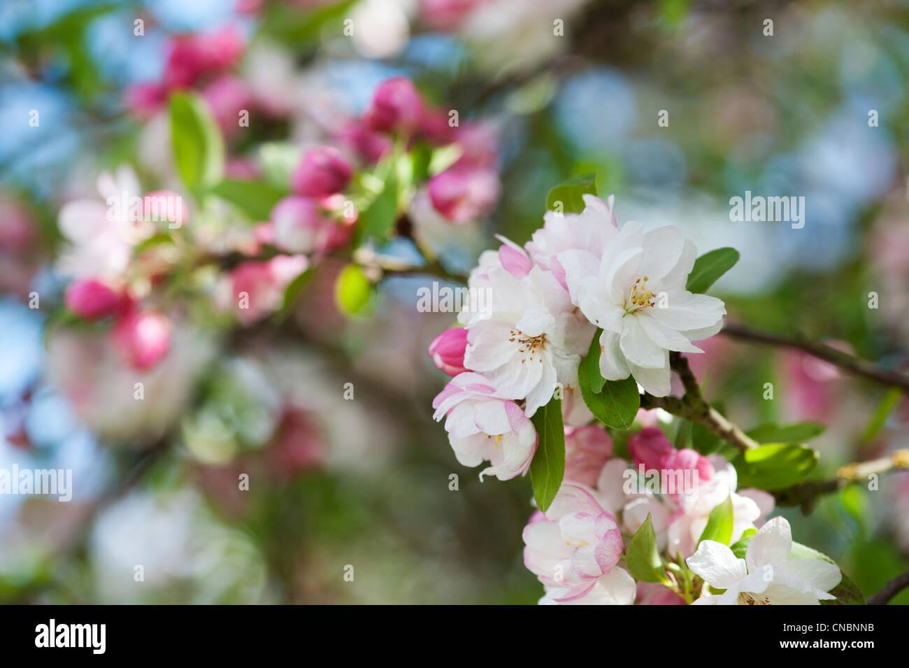 Flowering crabapple trees stock photos flowering crabapple trees crab apple tree blossom stock image mightylinksfo