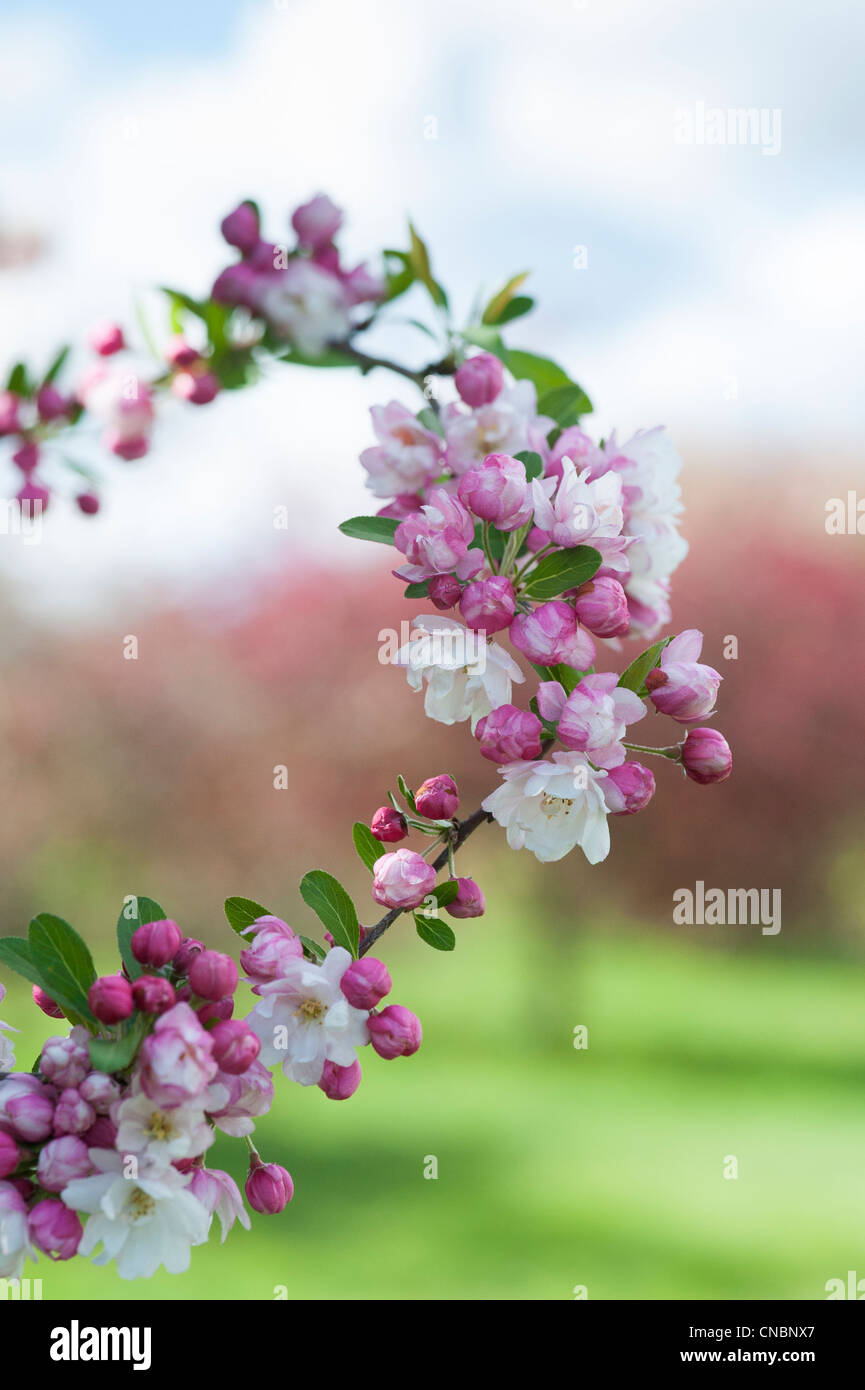 Malus 'snow cloud' .  Crab Apple Tree blossom Stock Photo