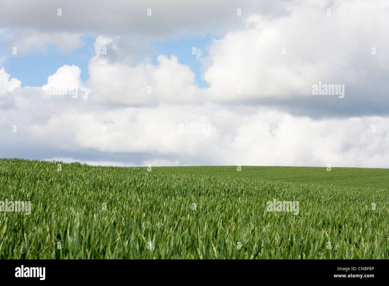 tall green grass field. Landscape Of Field, Tall Green Grass, Blue Sky, White Clouds. Summer Or Spring Scene, English Countryside. Copy Space No People. Grass Field I