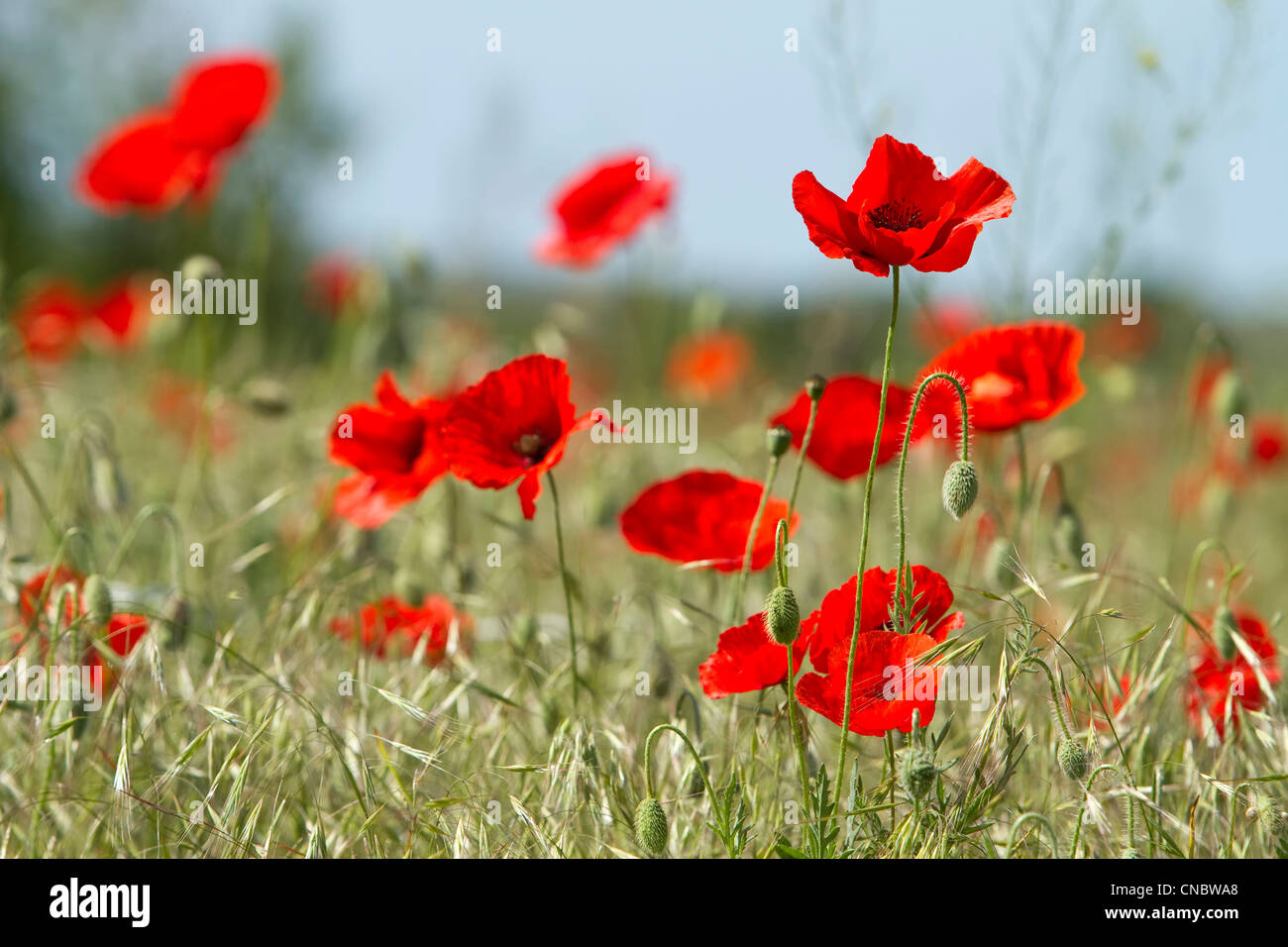 red poppies and green oat plant on the field - Stock Image