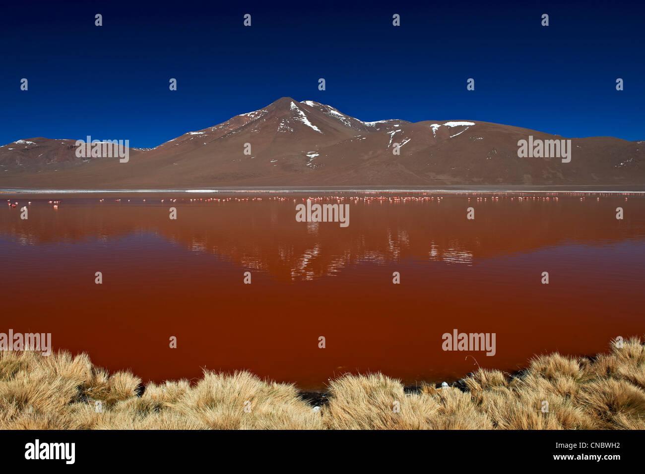 James's Flamingo, Phoenicoparrus jamesi, on Laguna Colorada, Colorada Lake or red laggon Stock Photo