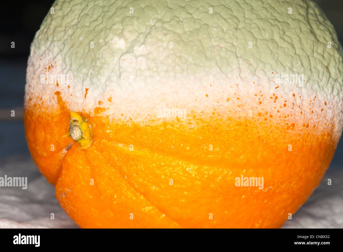 mold,orange,citrus,fruit,green,food, - Stock Image