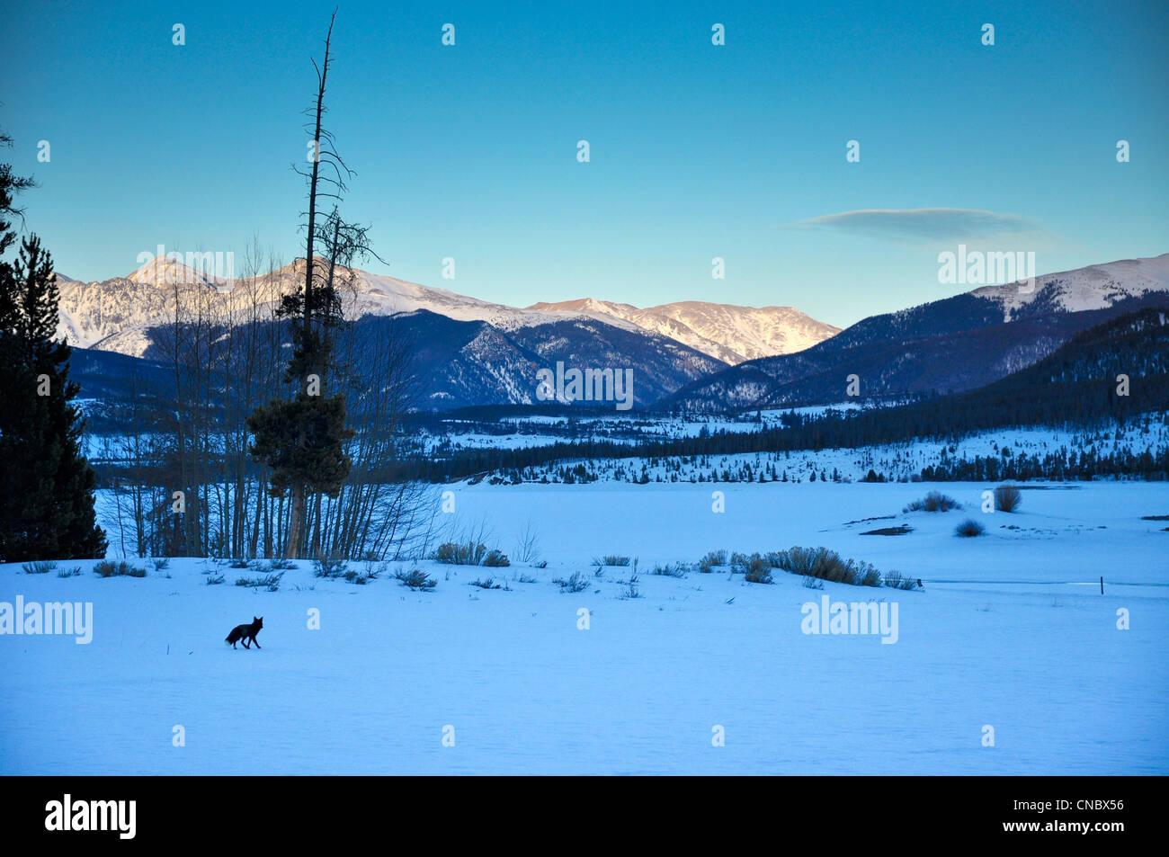 Black fox in summit county Colorado - Stock Image
