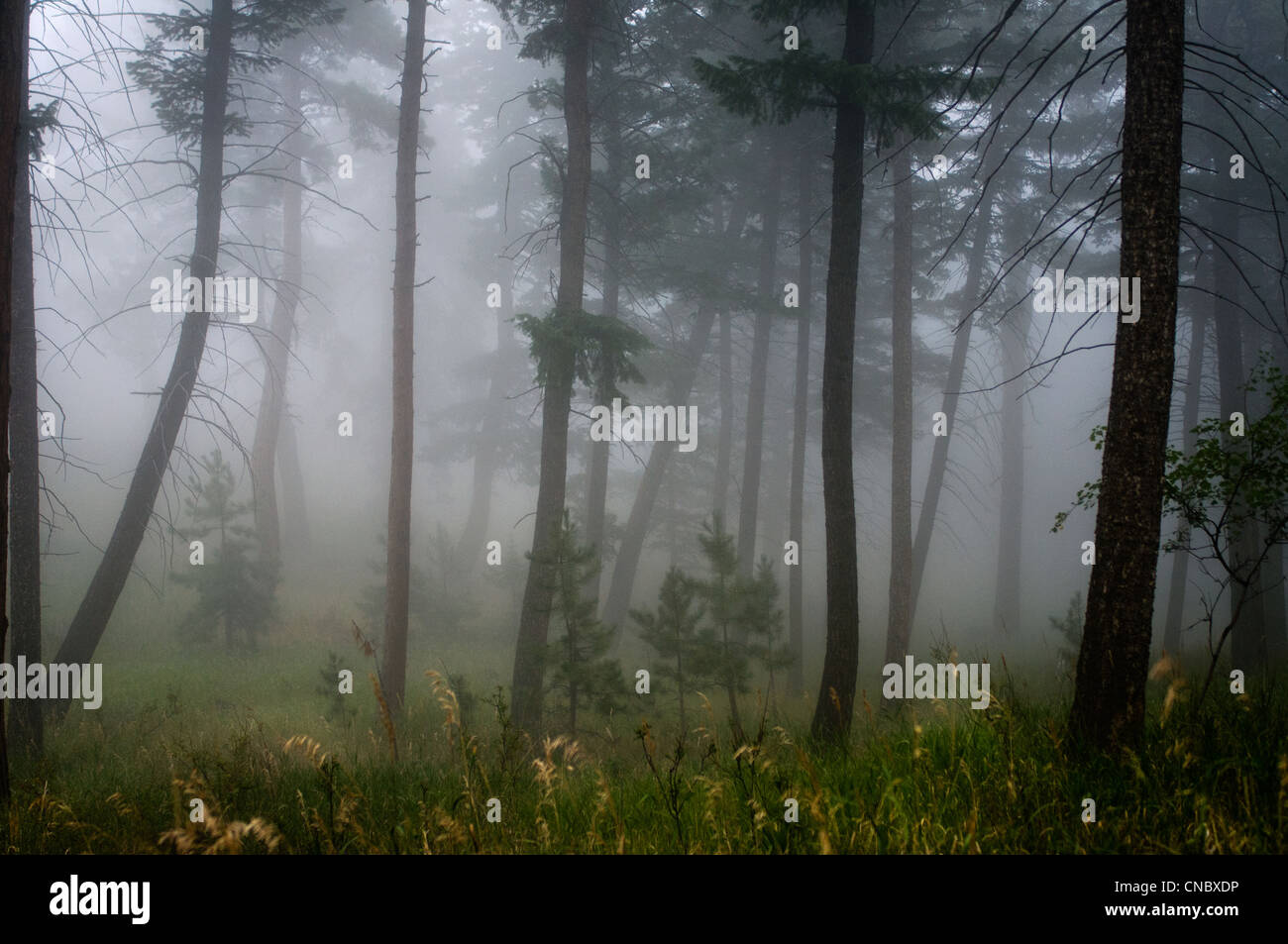 foggy pine forest in Colorado - Stock Image
