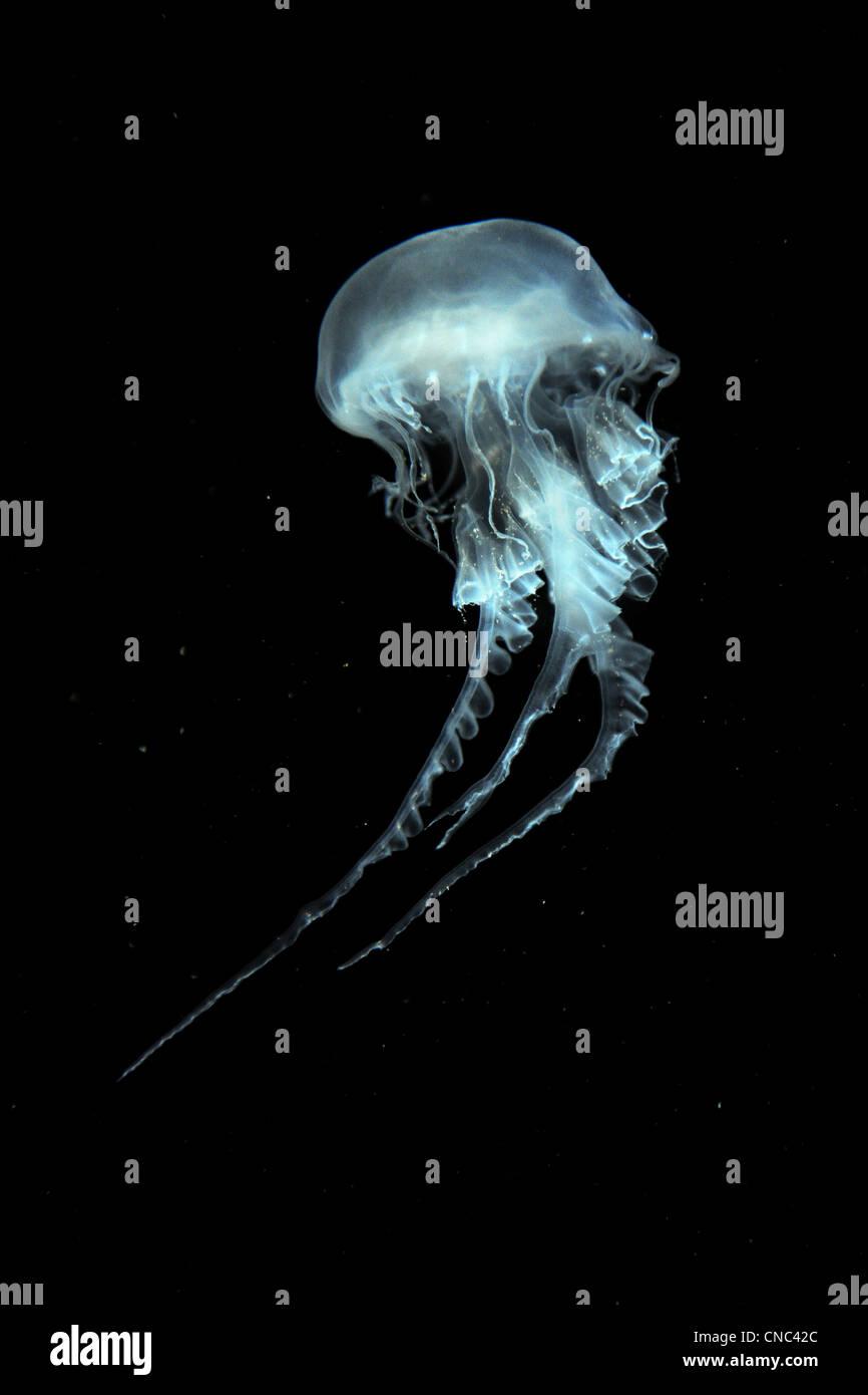 Atlantic sea nettle jellyfish swimming over a dark background - Stock Image