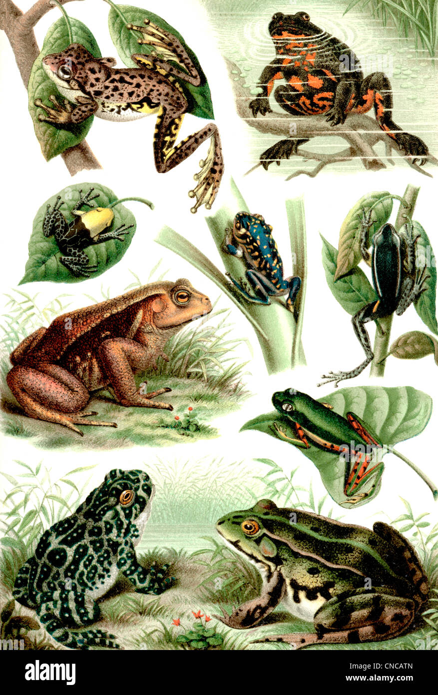 Historical illustration from the 19th Century, depiction of frogs and toads - Stock Image