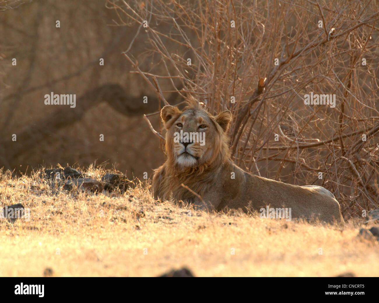 Asiatic lion (Panthera leo persica) - Stock Image