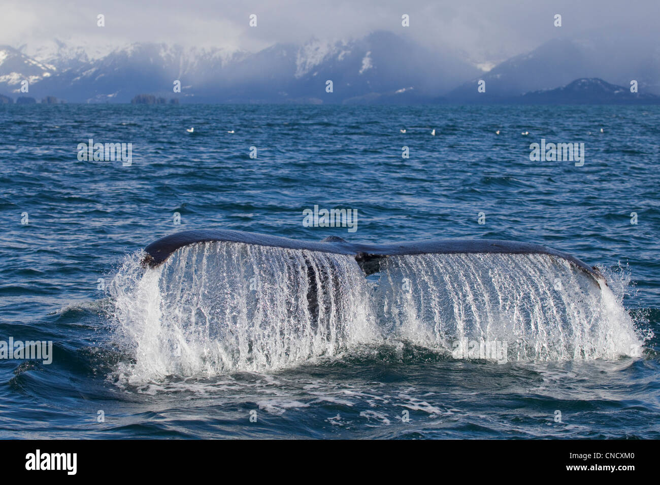 Humpback whale fluking with snowcappped Chugach Mountains in background, Prince William Sound, Alaska - Stock Image